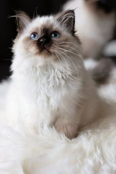 Seal point ragdoll