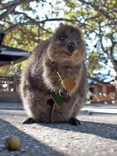 The quokka is a marsupial native to Australia. Quokkas aren't afraid of humans, and approach them frequently to play/cuddle/be FUCKING adorable. Happy Animals, Animals And Pets, Funny Animals, Cute Animals, Leaf Animals, Beautiful Creatures, Animals Beautiful, Quokka, All Gods Creatures