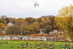 A model airplane flies above a flock of geese on the ground. http://www.bergencounty.com/sports-and-recreation/where-to-fly-remote-control-planes-1.1067575