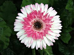 Longwood Gardens, Kennett Square, PA USA Photograph by Roy Kelley Roy and Dolores Kelley Photographs Kennett Square, Longwood Gardens, Gerbera, Daisy, Photographs, Gardening, Usa, Flowers, Quotes