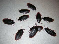 12- Fake Roaches Plus 1 Creepy Spider Prank Novelty Cockroach Bugs Look Real by loftus. $4.49. Place the nasty little critters anywhere! You get 12 roaches in this one low priced offer! Can Be Used Again & Again! Look like real roaches! Can be used again and again! You also get 1 pack of fakes piders with this deal.