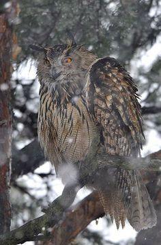 Eurasian eagle owl howls