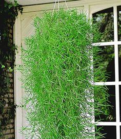 Hängende Bambus Green Twist (Agrostis stolonifera)