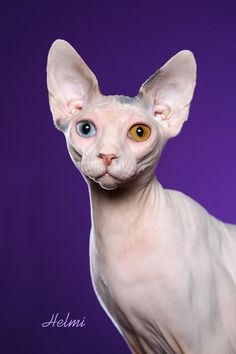 Sphynx- different color eyes. I Love Cats, Cool Cats, Crazy Cats, Rex Cat, T Rex, Pretty Cats, Beautiful Cats, Illustration Photo, Sphinx Cat