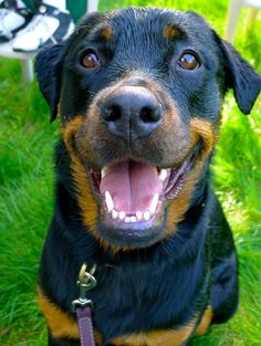 53 Best Rottweilers Images Rottweilers Rottweiler Big Dogs