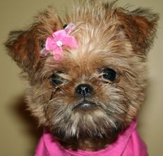 Brussels Griffon, Princess Lizzi Bear!