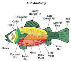 Salmon anatomy diagram