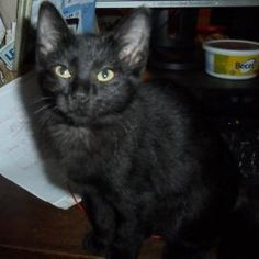 Adopted!! - Wendy Darling . just look at those eyes ..http://www.petango.com/Adopt/Cat-Domestic-Shorthair-Mix-14948151