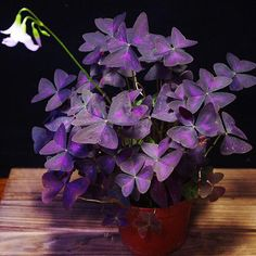 Oxalis triangularis, commonly called false shamrock, is a species of edible perennial plant in the oxalidaceae family. An interesting feature is that the leaves close like an umbrella at night or when disturbed. the white or pale pink five-petalled flowe Partial Shade Flowers, Oxalis Triangularis, Saintpaulia, Kids Poems, Colorful Flowers, Feng Shui, Perennials, Planting Flowers, Hibiscus