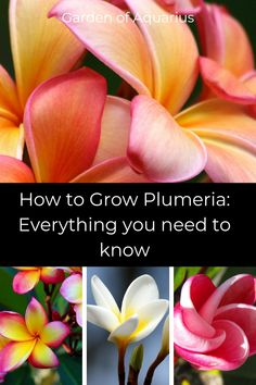 In this guide I share with you my tips and tricks after growing Plumeria for over 10 years. Grow inside in any climate! Let me teach you the basics and advance you to the pro-tips. Plumeria Care, Plumeria Flowers, Gardening For Beginners, Gardening Tips, Organic Gardening, Indoor Gardening, Flower Pot Design, Mother Plant, Garden Signs