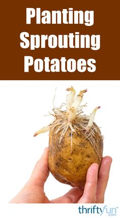 This is a guide about planting sprouting potatoes. If those potatoes that you forgot about have begun to sprout, try planting them. As long as there is no rot you should be able to harvest a nice crop.