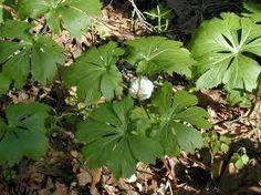 May Apple - Perennial