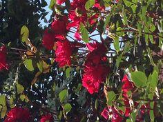 Beautiful roses in my garden