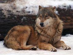beautiful wolf 4