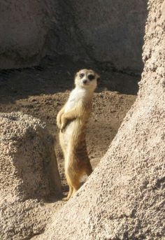 funny!! Reminds me of my trip to animal kingdom in Orlando!!!! Meerkats are so funny!!