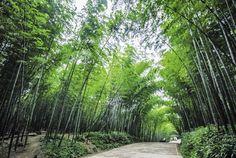 Yibin bamboo forest, Sichuan, China
