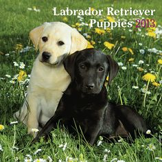 Labrador Retriever Puppies Wall Calendar: Very energetic, maybe a little clumsy but absolutely adorable, Labrador Retriever puppies play, play, play until they—or more likely you—are worn out. These dogs are easy to train, and will mature into patient, loving, and faithful friends. Lab pups are up to all kinds of tricks in this heartwarming wall calendar.  http://www.calendars.com/Labrador-Retrievers/Labrador-Retriever-Puppies-2013-Wall-Calendar/prod201300004784/