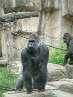 Love. Silverback Gorilla, Chimpanzee, Horse Horse, Horses, Gorillas In The Mist, Mountain Gorilla, Orangutans, Primates, Tatoo