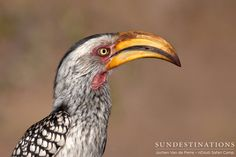 The southern-yellow billed hornbill.   They are in abundance throughout all of the Kruger reserves. They are often seen foraging on the ground and are easily identifiable by their yellow, banana shaped beak.  #hornbill #birding #birds #krugerbirds #southernyellowbilledhornbill #Krugerbirds