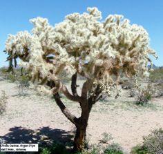 Cholla tree, Arizona