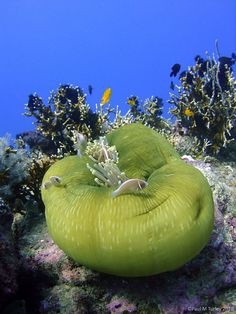 Napoleon reef in Pemuteran Bali a Closed Green Sea Anemone