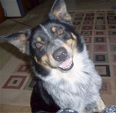 "This dog looks a lot like my Princess that passed away before 2013 Christmas. ""Texas Heeler"" Australian Shepherd/Blue heeler mix.I still miss her."