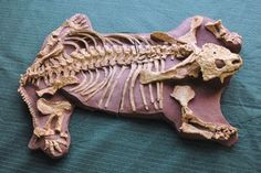 Pareiasaurus Adult Skeleton Plaque for sale at www.SkeletonsAndSkullsSuperstore.com. These fossil replicas are ideal for educators, veterinarians and students.