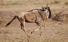 Running Wildebeest, Masai Mara, Kenya,