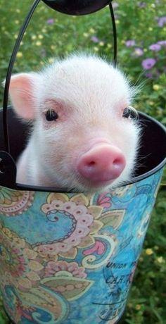 piglet in a bucket
