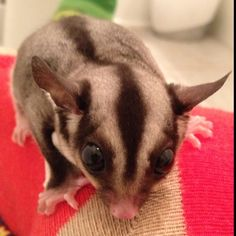 My baby sugar glider Ruby snuggling with my foot