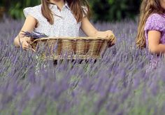 Lavender Cottage, Lavender Fields, Lavander, Lavender Flowers, Romantic Flowers, Beautiful Flowers, Growing Lavender, Shades Of Purple, Violet