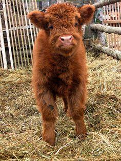 """Scottish Highland Calf. so adorable! """""""