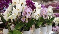 Однажды мне подарили великолепную орхидею с красивыми цветами, и через какое-то время мне захотелось ее размножить. Вначале мне показалось, что это очень сложно, ведь раньше я не занималась подобными вещами. Я прочитала специальную книгу, просмотрела массу статей, поспрашивала у знакомых…  Это могло бы длиться вечность, если бы я совершенно случайно не списалась на форуме […]
