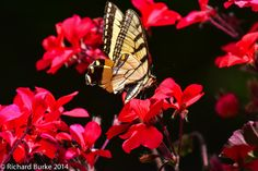 Today's Post at Imagery Photography...Pirate Butterfly
