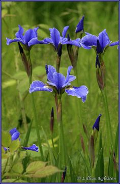 Siberian Iris by Lillian Egleston, via Flickr
