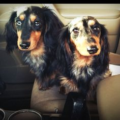 Longhaired Dachshunds are adorable. Especially mine.