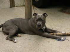 Mommy's bundle of love with a big ol' stick. Knight Saber the Thunderfoot - Blue Nose American Pitbull. Blue Brindle.  About 7 months old.