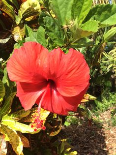 Hibiscus flower Kwato