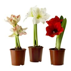 IKEA HIPPEASTRUM Potted plant Amaryllis/2 buds assorted colours 12 cm Decorate your home with plants combined with a plant pot to suit your style.