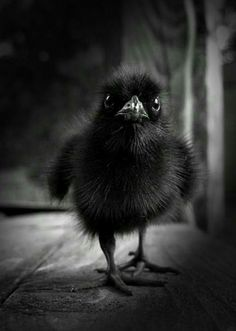 Baby crow. Aw. I want to hug it and squeeze it.