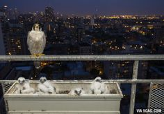 Chicago photographer has a new family taking over his balcony