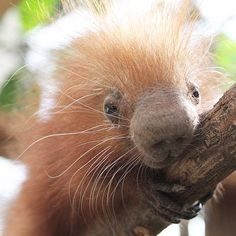 The baby porcupine, known as a porcupette, currently weighs less than a pound, the zoo said.   The zoo won't be able to determine if Clover is a boy or girl for a few more weeks.