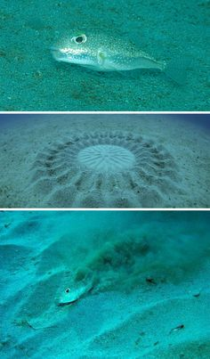 at a deep of a 100 ft this little fish creates this symmetrical patterns using a single fin.  the bumps and grooves lures the females and eventually the eggs are deposit at the center.  the fortification protects against currents and predators.  unbelivable!  investigation by yoji ookata