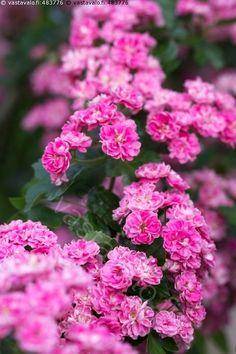 Kukkiva ruusuorapihlaja - ruusuorapihlaja koristepuu pieni puu pensas kukkiva kukka kukat kukinto punainen vaaleanpunainen puutarha kasvi Crataegus x media orapihlaja purppura purppuranpunainen kerrannaiskukka