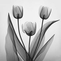 THE INNER BEAUTY OF FLOWERS  Floral Radiography by Merrill Raikes, M.D.  Autumn Tulips
