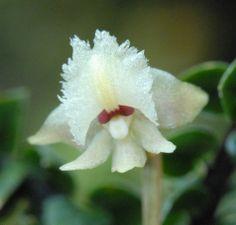 Dendrobium reginanivis Door: Jan Meijvogel