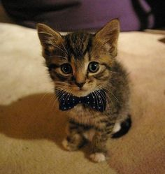 Just a kitty with a bow-tie (Source: http://ift.tt/1FD9hWl)