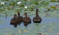Niles Pond Ducklings -3 ©Kim Smith 2015