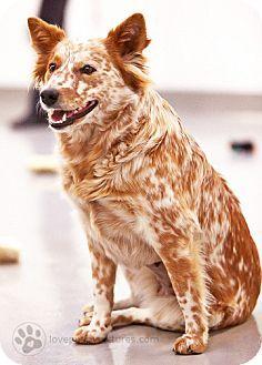 Culver City, CA - Cattle Dog Mix. Meet Polka Dot, a dog for adoption. http://www.adoptapet.com/pet/12420692-culver-city-california-cattle-dog-mix