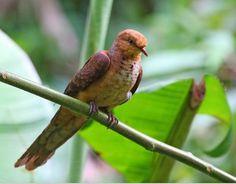 Little Cuckoo-Dove(Macropygia ruficeps)